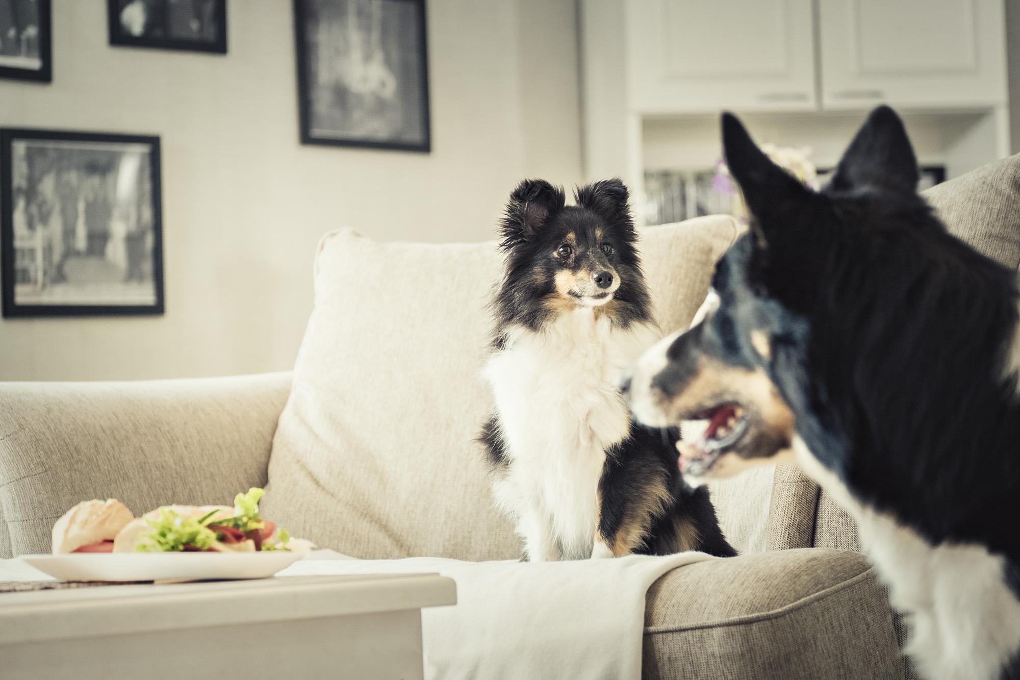Kaksi koiraa katsoo pöydällä olevaa voileipää