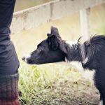 Miksi koirat rähisevät remmissä?