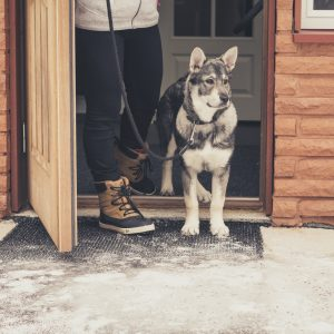 Koira seisoo valppaana kotiovella ja on valmis lenkille