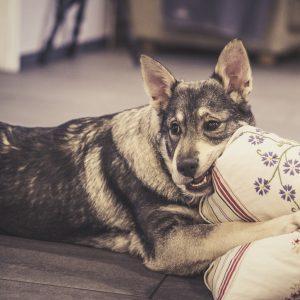 Koira pureskelee kaunista tyynyä
