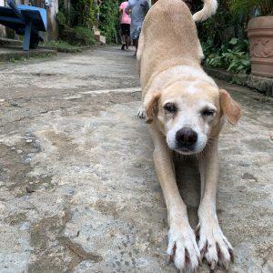 Koira venyttelee laiskasti ja katsoo ystävällisesti kameraan