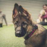 Miten koulutat kiltin koiran?